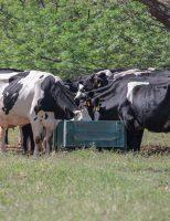 Pesquisas mostram que as vacas podem dar mais leite comendo menos
