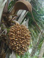 Amêndoas do Inajá com bom teor de óleo quando o produtor realiza a colheita antecipada