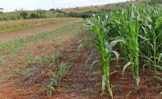 Criado um novo sistema para garantir a produtividade do milho safrinha