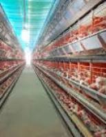Grupos produtores resolvem acabar com a venda de ovos de galinhas confinadas