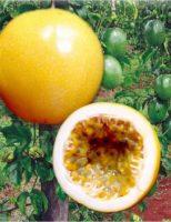 Novas sementes de maracujá como alternativa na melhoria de renda do produtor