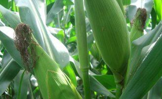 Novas técnicas para ajudar a melhorar a produção de milho no Brasil