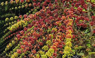 Brasil deve ter superprodução na safra do café este ano