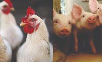 Apesar de toda crise, as projeções indicam bom desempenho da avicultura e a suinocultura em  2020