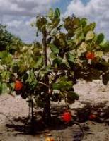 A melhor cultivar do cajueiro anão para plantio no semiárido