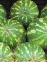 Divulgado o novo zoneamento agrícola para o plantio da melancia