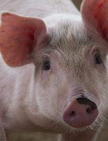 Criadores de porcos terão que cumprir regras de bem-estar animal
