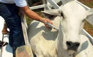 Um alerta aos produtores rurais de Pernambuco: apenas 68% do rebanho recebeu vacina contra aftosa