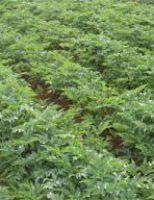 Escolher a semente de batata dá certeza de boa renda para agricultura familiar