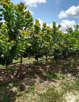 Plantar caju agora tem garantia do Zoneamento Agrícola de Risco Climático