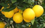 Exportações brasileiras de suco de laranja foi menos nos últimos seis meses do ano passado