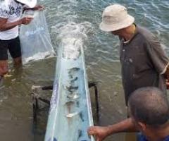 O Rio São Francisco ganha peixamento ao passar pelo estado de Sergipe