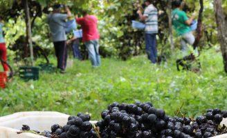 Vinhos produzidos no Paraná querem ganhar título de Indicação Geográfica (IG)