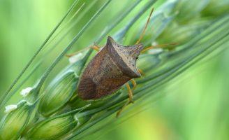 Os percevejos que atacam a plantação de milho podem ser combatidos se o agricultor escolher a hora certa de uso do defensivo