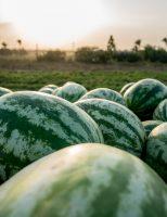 Todas as regiões do Brasil já têm zoneamento agrícola de risco climático para a melancia
