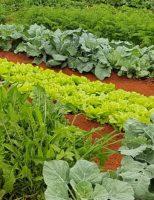 Novo manejo no plantio de hortaliças pode reduzir até 30% os custos de produção