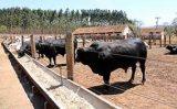 Fatores que ajudam a melhorar a rentabilidade da produção de boi de corte
