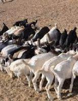 O agricultor nordestino pode ganhar mais criando cabras mestiças para produção de carne ou leite