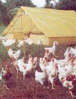 O jeito certo de fazer o abate de frango caipira