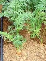 Como melhorar a produção de hortaliças com irrigação por gotejamento e fertirrigação