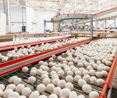 Produtores brasileiros aumentam as exportações de ovos para os Emirados Árabes