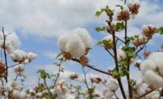Uma nova semente de algodão mais produtiva e resistente ao ataque de pragas