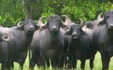 Criadores de búfalos promovem aniversário virtual
