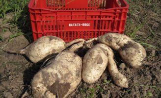 Uma nova cultivar de batata-doce