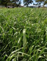 O pasto formado pelo Capim-Piatã melhora o ganho de peso dos animais