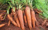Uma semente de cenoura exclusiva para cultivo orgânico