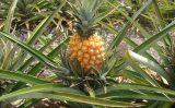 Aprenda a combater a podridão-negra-do-abacaxizeiro