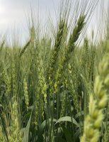 Produtores de trigo podem economizar até R$ 400 por hectare no plantio