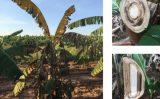 A praga da fusariose em bananeiras pode ser controlada com um correto manejo do solo