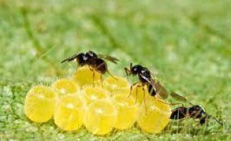 O agricultor economiza mais fazendo controle biológico de pragas