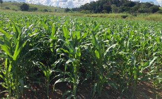 Duas técnicas para melhorar a rentabilidade e a produtividade do plantio de milho em pequenas propriedades