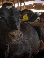 A incrível vaca de 15 crias e 100 toneladas de produção de leite