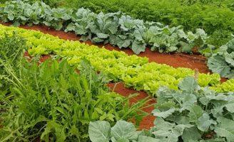 Boas sementes de hortaliças ajudam a melhorar a renda dos agricultores familiares