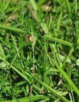 Vantagens do consórcio de braquiária com a leguminosa gliricídia