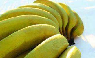 Uma cultivar de bananeira própria para agricultura familiar