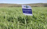 Preparação da área e escolha do capim tornam a criação de gado um sistema mais produtivo