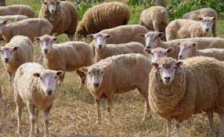 É possível fazer testes de desempenho para melhor a produtividade do rebanho de ovinos