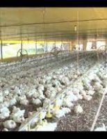 No dia da avicultura e do avicultor recomendações para uso de equipamento adequado nos aviários