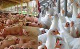 Aumentam os custos de produção de suínos e de frangos nos últimos 12 meses