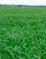 Pecuarista deve ficar atento ao momento certo para renovar a pastagem fazendo a semeadura do capim