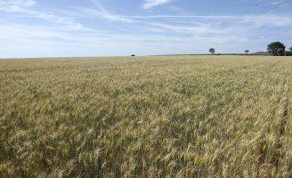 Uma ferramenta para ajudar o produtor a prevenir o risco de brusone no trigo