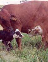 Medidas simples podem ajudar o produtor a reduzir o intervalo de parto das vacas e aumentar a renda da propriedade