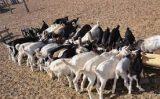 Mais renda para o produtor rural com boas práticas na produção de leite de cabra