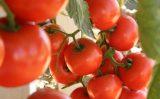Mais produtividade nas plantações de tomate com uso de bactérias funcionais